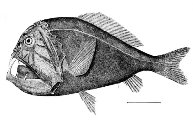 Poisson-ogre – Anoplogaster cornuta. Illustration: wikipedia.org