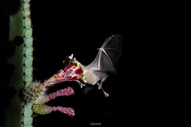 pitaya-murcielago-1024x683